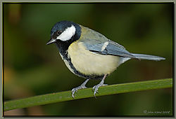 Great_Tit-DSC_9924.jpg
