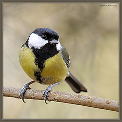 Great_Tit_DSC_8780.jpg