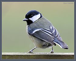 Great_Tit_DSC_9189.jpg