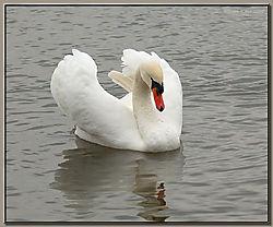 Mute_Swan-DSC_0302.jpg
