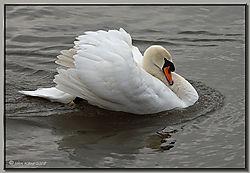 Mute_Swan-DSC_0313.jpg