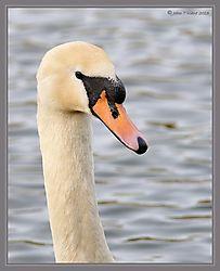 Mute_Swan_DSC_9397.jpg