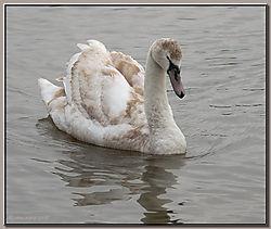 Mute_Swan_Juvenile-DSC_0308.jpg
