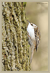 Tree_Creeper_DSC_8923.jpg