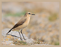 Wheatear_Female-DSC_3775.jpg