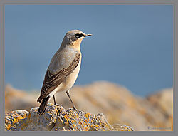 Wheatear_Male-DSC_3791.jpg