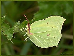 Brimstone_Butterfly-JTK_D50_20080804_113407_DSC_7382-RESIZE.jpg