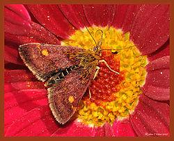 Mint_Moth_Argyranthemum_DSC_1868.jpg
