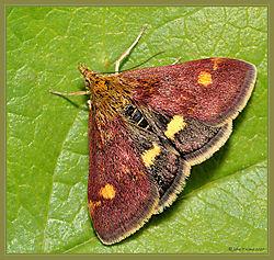 Mint_Moth_DSC_1284.jpg