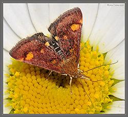 Mint_Moth_Oxeye_Daisy_DSC_1527.jpg