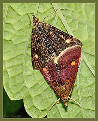 Mint_Moths_Mating_DSC_1836.jpg