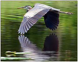117042Blue_Heron_In_Flight1.jpg