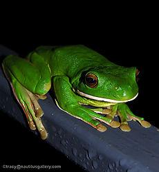 86715Green_Tree_Frog.jpg