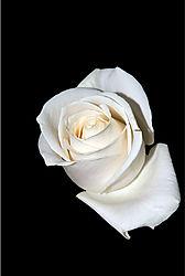 105017Solitary-Rose1.jpg