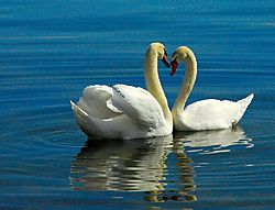 126769Courting_Swans3.JPG