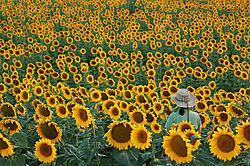 KCBinSunflowers.jpg
