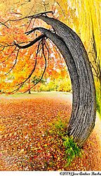 pano-tree7_sugar-maple.jpg