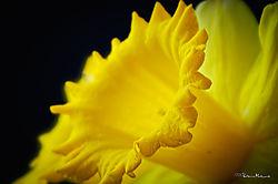 MAL9008_daffodils_sm.jpg