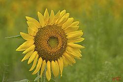 sunflower12.jpg