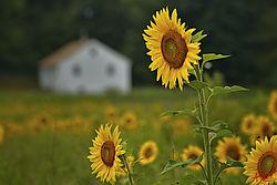 sunflower_house.jpg