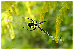 85138Orb_Web_Spider.jpg