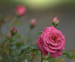 2082420824A_Rose.jpg