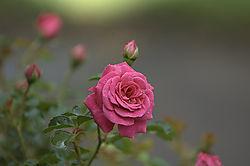 20824A_Rose.jpg