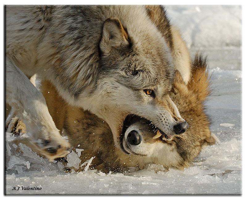 31_Wolf-Stream-235-HC-WM