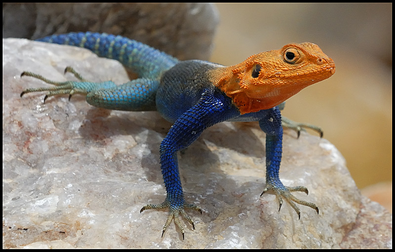 8_louis_Red-headed_Agama