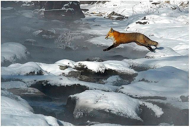 97_Scottashley_Fox_Jumping_Creek