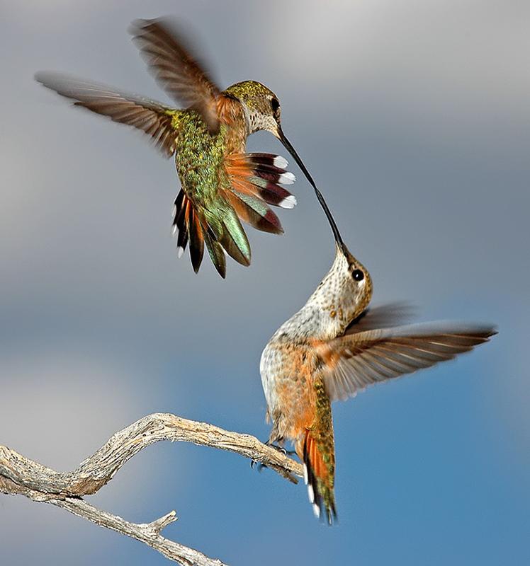 dgoertz_-_Dueling_Humming_Birds