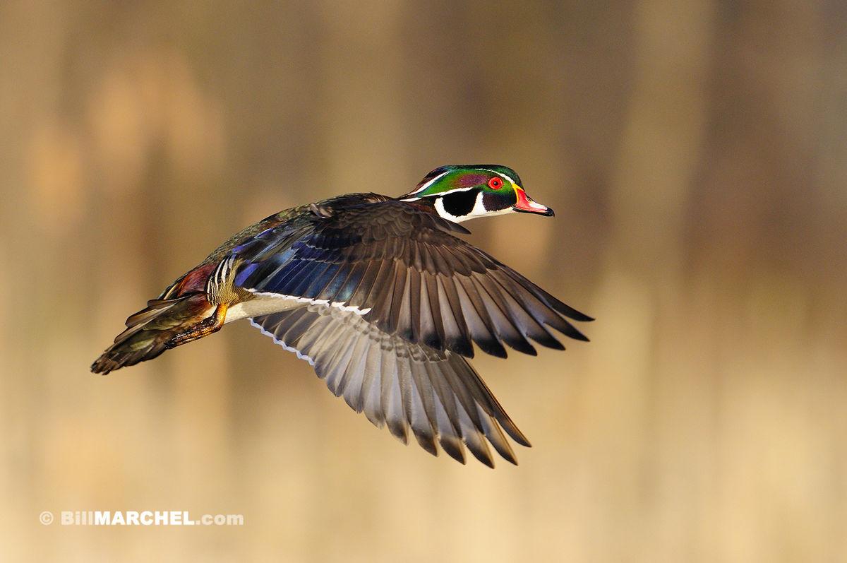 january_wildlife_BillMarchel1