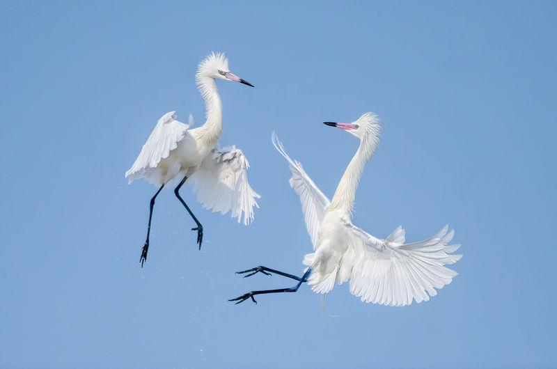 """Winner June  Wildlife   Theme: """"Pairs""""  """"White Morph Reddish Egrets""""     Nikon D7000, 500mm f/4-P MF lens @ 1/3200, f/4, ISO 640"""