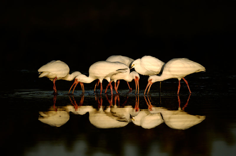 """Winner March Wildlife  Theme: """"Dramatic Light""""   """"Ibis in early light""""    D2X w 600/4,  f4.0@1/3200, iso 320"""