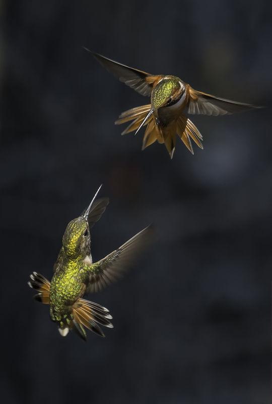 """Winner May  Wildlife  Theme: """"Birds in Flight""""  """"Masters of Flight""""  Nikon D800e, 80-400mm at 400mm, f/8, 1/1000"""