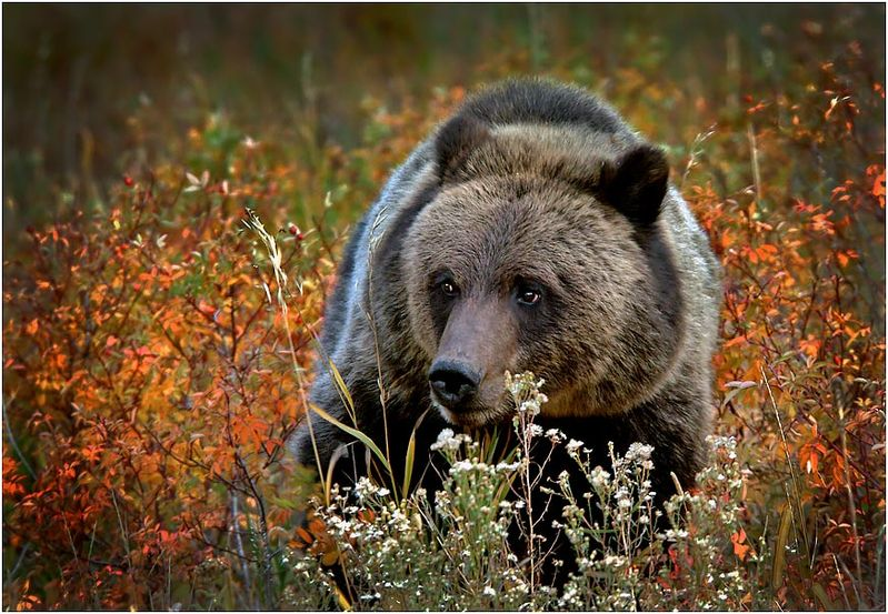 """Winner November Wildlife  Theme: """"Animal Portrait""""   """"Young Grizzly Portrait""""    D70, Nikon 80-200, ISO 800, f5.6@1/500 http://www.nikonians.org/dcfp/user_files/321127.jpg"""