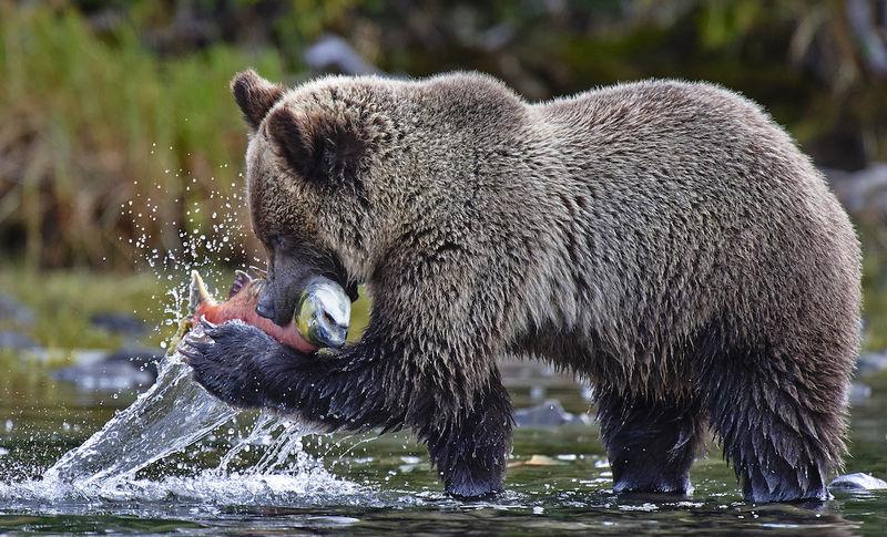 "Winner October Wildlife  Theme: ""Wildlife in Action""   ""Salmon Run in Chilko River""    D4, 200-400 mm f/4, ISO 2000, SS 1/800, f/5.6"
