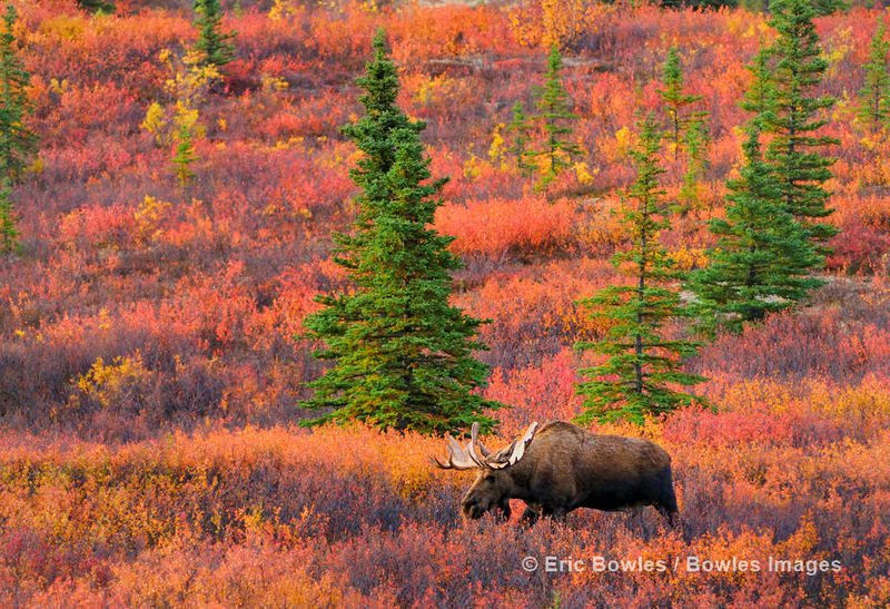 Wildlife in Fall Col... /ericbowles/