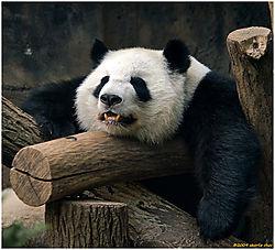 1_cchoc_Panda.jpg