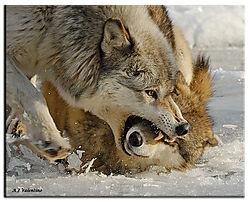 31_Wolf-Stream-235-HC-WM.JPG