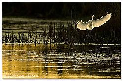 32_Carl_B_Great_White_Egret.jpg