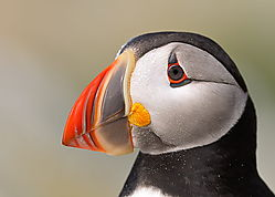 38_ericbowles_Atlantic_Puffin.jpg