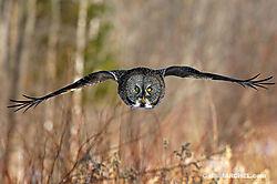 81_BillMarchel_Great_Grey_Owl.jpg