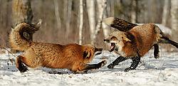 Red-Fox-042.jpg