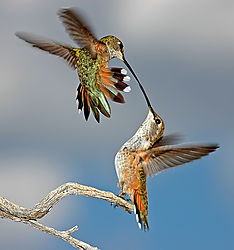 dgoertz_-_Dueling_Humming_Birds.jpg
