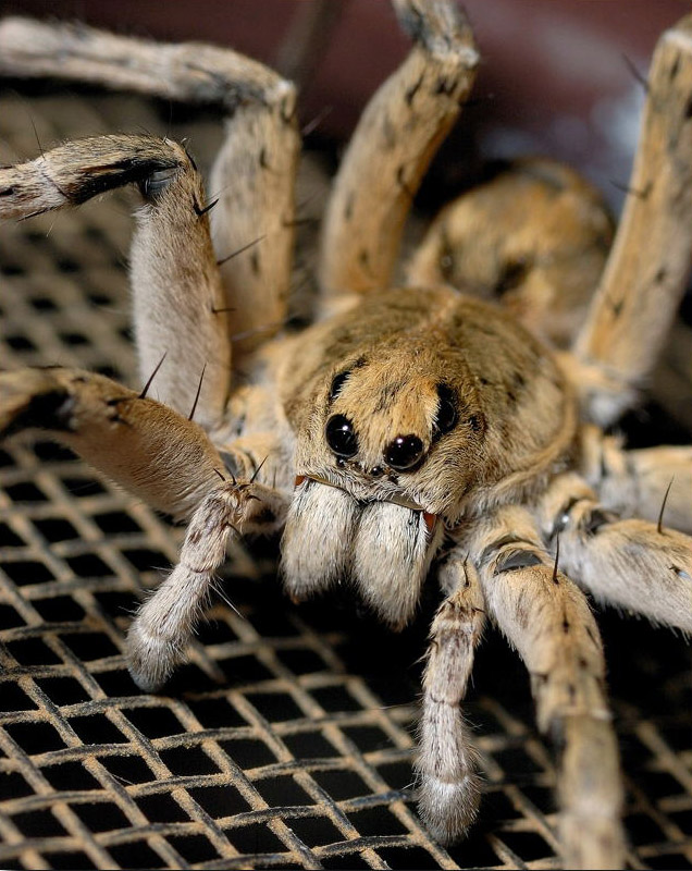 15_TEITZY_Wolf_Spider