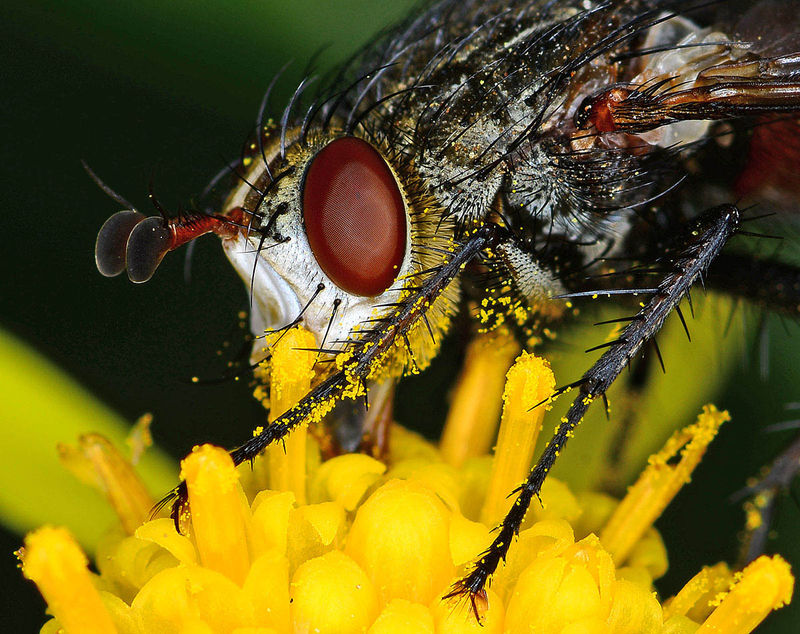 """Winner April Macro  Theme: """"In Your Backyard""""   """"Fly in the Yard""""   Shot with D800E, 200mm F4 (manual focus) with a Novaflex 105mm bellows lens reversed on the front of it. Sunpak ring flash was rigged to the reversed lens with a Nikon K3 ring and female/female filter thread adapter made from 2 old filters with glass removed and glued back to back.    f/20 