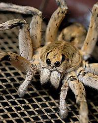 15_TEITZY_Wolf_Spider.jpg