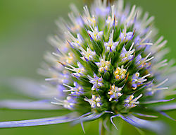 24_jhearl_Sea_Holly.jpg