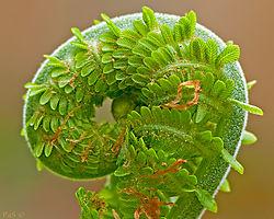 Gerad_Pas_-_Fern_Frond_Spiral.jpg